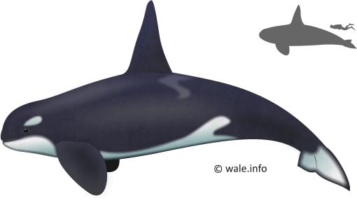orca auge